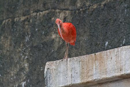 talon: ibis