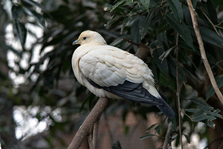 imperial: pied imperial pigeon
