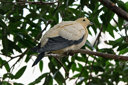 pied: pied imperial pigeon