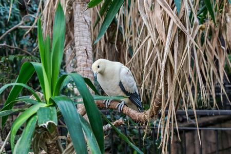 srokaty: pied gołębi imperial