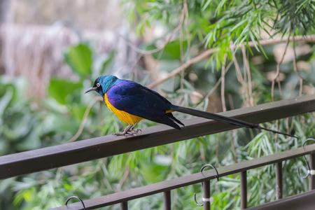 talon: Royal Starling