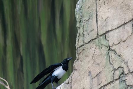srokaty: Pied Crow