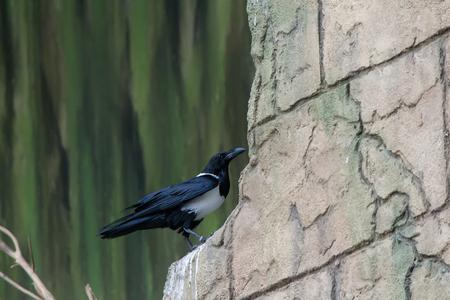 talon: Pied Crow