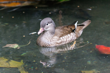 ringed: Ringed Teal Duck Stock Photo