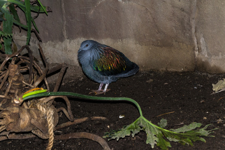 talon: Nicobar Pigeon Stock Photo