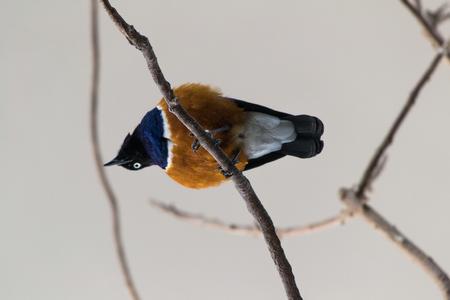 superb: Superb Starling