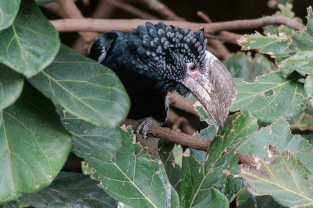 silvery: Silvery Cheeked Hornbill Stock Photo
