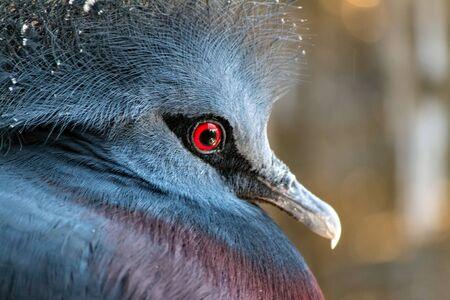 talon: Victorian Crowned Pigeon Stock Photo