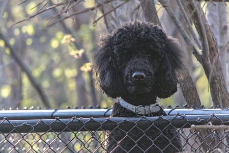 poodle mix: Pet Stock Photo