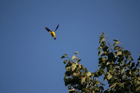 talon: Yellow Finch flying