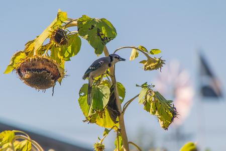 bluejay: Blue jay on sunflower