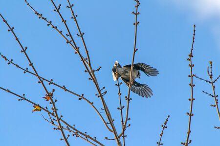 bluejay: Blue Jay in tree