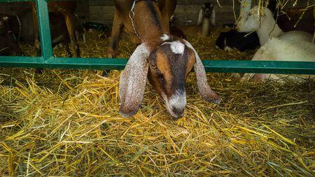 horse collar: goats Stock Photo
