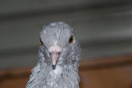 pigeon egg: Pigeon