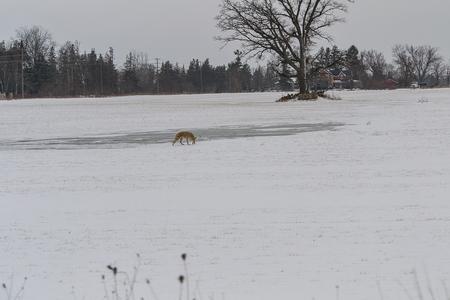 coyote: Coyote Stock Photo