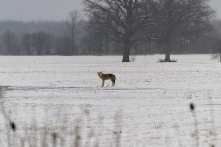 howl: Coyote Stock Photo