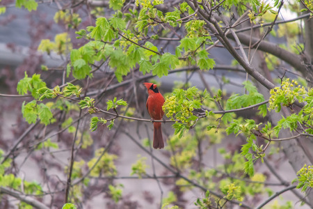 better performance: Cardinal in the tree