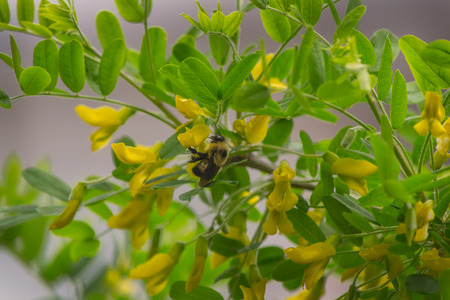 Flying Bumble Bee Фото со стока