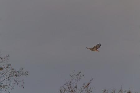 eagle falls: Hawk