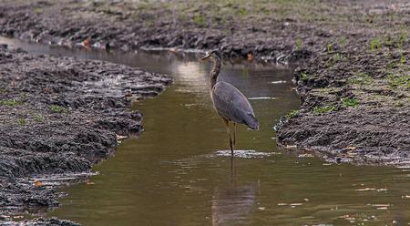 Heron bird looking for food Stock Photo