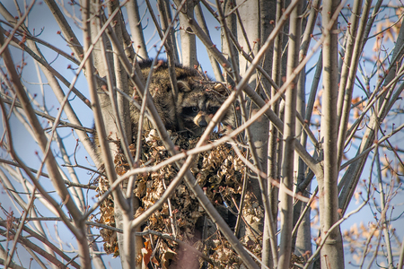 Raccoons in the tree