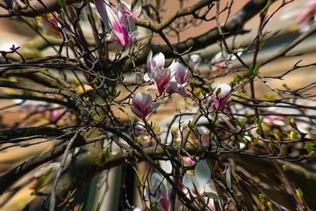 Magnolia flower bud on a plant Reklamní fotografie