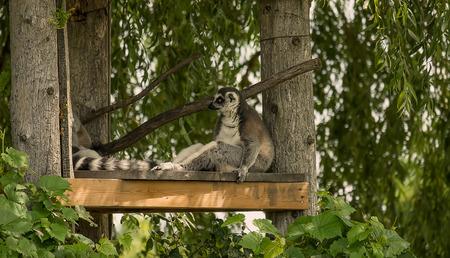 Lemur Фото со стока