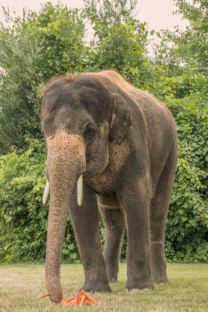 Elephant eating in the zoo Фото со стока