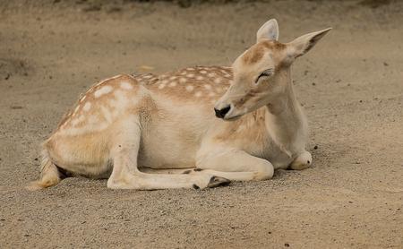 Doe resting on ground
