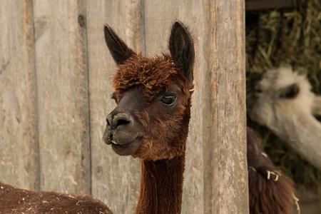 Alpaca head view Stock fotó