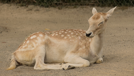 Doe resting in the zoo