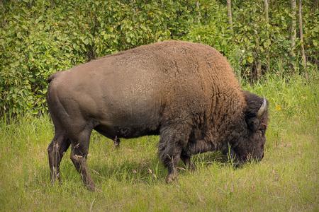 Buffalo Grazing Reklamní fotografie - 107604980