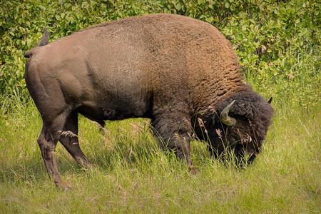 Buffalo Grazing Reklamní fotografie - 107443167