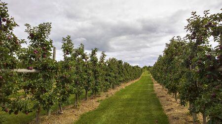 Apple Orchard Path