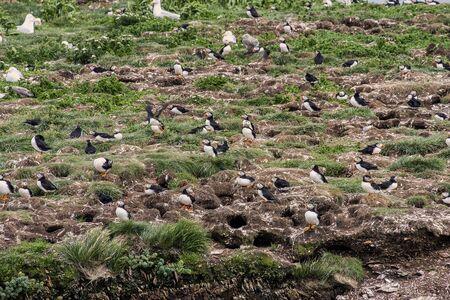 Bonavista, Newfoundland Puffins on rock