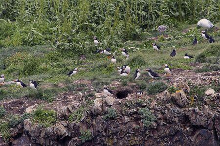 Newfoundland Puffins on a rock