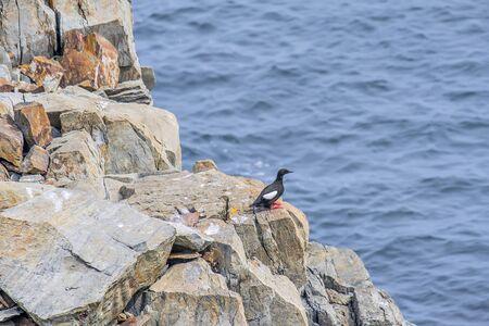 A Black Guillemot on a rock in Bonavista, Newfoundland