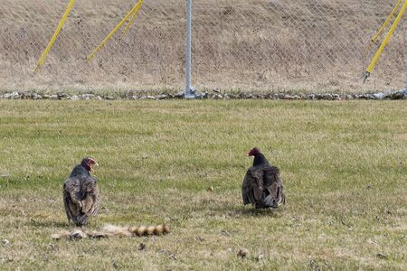 Turkey vultures after eating raccoon.