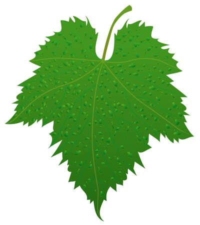 leaf grape: Hoja de uva  Vectores