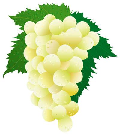 Grape (white) Vector