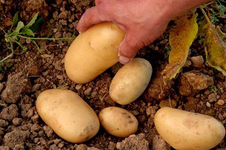 Picking potatoes Stock Photo - 411384