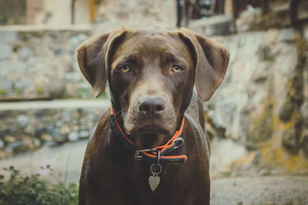 Brown dog staring with yellow eyes and orange necklace. Soft and unfocused background in gray, green and yellow tones. The whole image has a soft tone