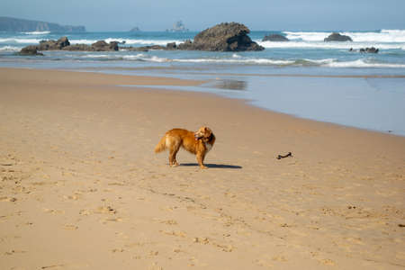 Brown dog on the beach with waves Stock Photo