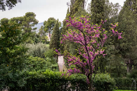 Flowering Judas tree with pink color in a green garden Stock fotó