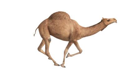 3d render camel walking on white background