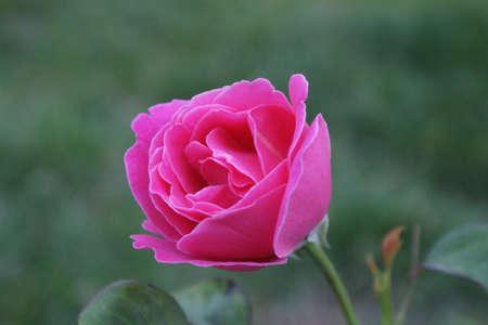 china rose: rosiness  China rose  Stock Photo