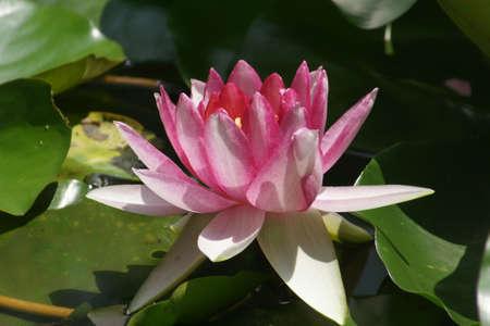 wang: Rosey lotus in Beijing Bai Wang Shan forest Park