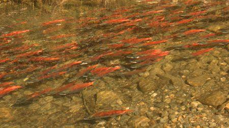 spawning: Kokanee salm�n en desove Taylor Creek en Lake Tahoe Foto de archivo
