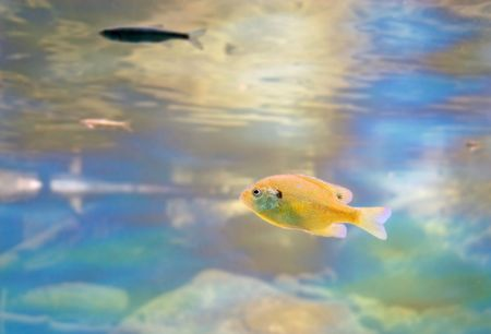 A Small bluegill swimming with the salmon in Taylor Creek at Lake Tahoe.  Photo take at the Stream Profile Chamber. photo