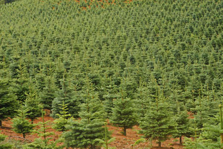 Tree Farm in Central Oregon, USA